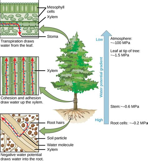 what to water your tree with transport of water and solutes in plants 183 biology