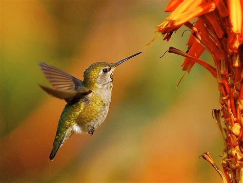 17 best images about hummingbird on pinterest baby
