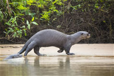 wild sea otter eats fresh fish reserrection bay animal