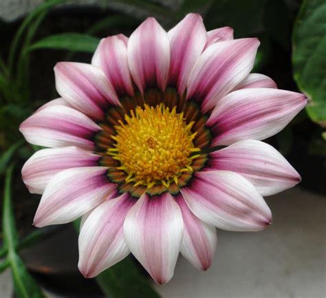 Dompet Flower Cf S 223 7 exuber 226 ncia escancarada minhas flores my flowers