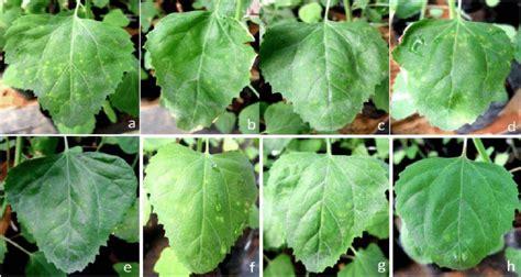 Bibit Tanaman Serai Bumbu tanaman serai wangi daftar harga terbaru terlengkap