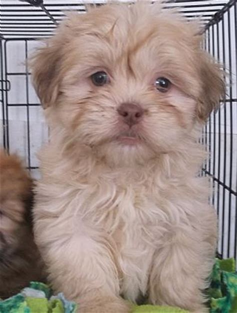 lhasapoo puppies 17 best images about lhasa poodle mix on hoodie sweatshirts adoption and