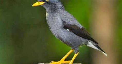 Spacer Besi 25cm Warna Putih Kuning budidaya burung jalak kebo jalak hitam burung yang berisik