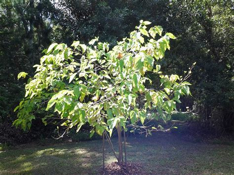 how to identify fruit trees forum help identifying fruit trees