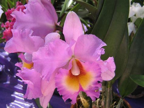 imagenes de rosas orquideas fotos de orqu 237 deas florpedia com