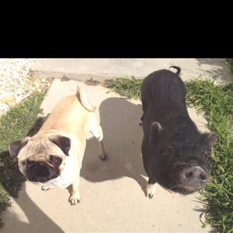 pig and pug a pig and pug i wanted a pig but i got a pug instead