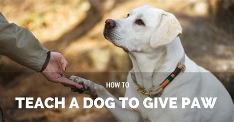 how to teach a paw how to teach a to give paw hello pup