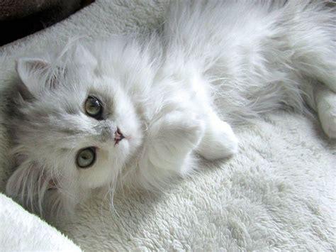 white fluffy best 25 white fluffy kittens ideas on kittens