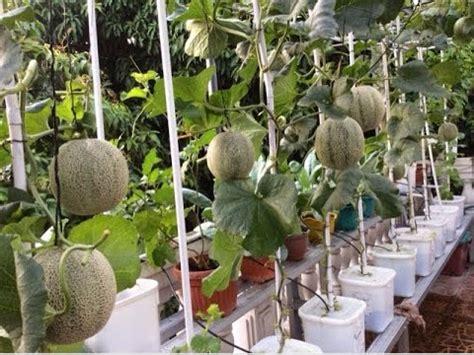 Hidroponik Fertigasi Melon menanam melon hidroponik dengan memanfaatkan ember bekas