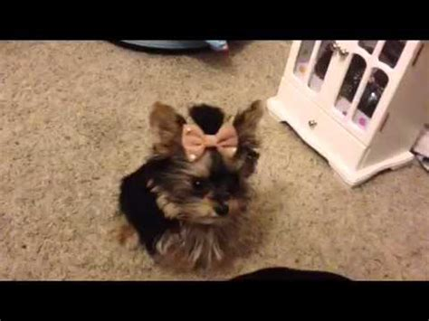 yorkie smartest priceless yorkie puppy worlds smallest teacup yorkie puppies tug a war