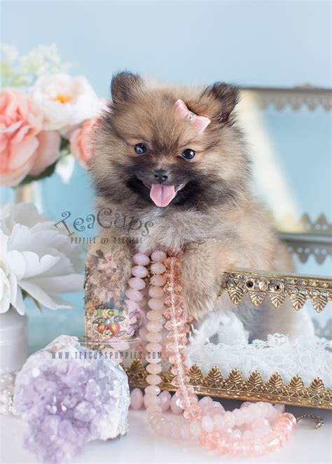 pomeranian boutique delightful teacup pomeranian puppies for sale teacups puppies boutique