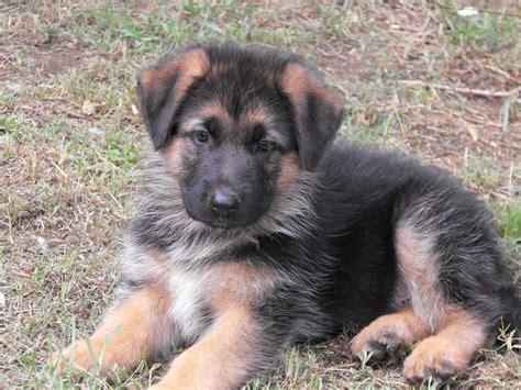 maltese german shepherd puppies wolfonyx german shepherd dogs qld hauskadelka german shepherd dogs nsw