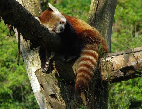 Free photo: Panda, Roux, Zoo Lille - Free Image on Pixabay ... Facebook Blue Color