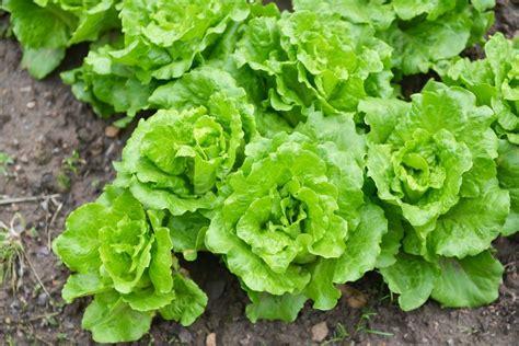 imagenes lechugas verdes c 243 mo plantar lechuga el huerto urbano