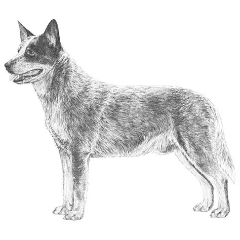 how to cattle dogs australian cattle breed information american kennel club
