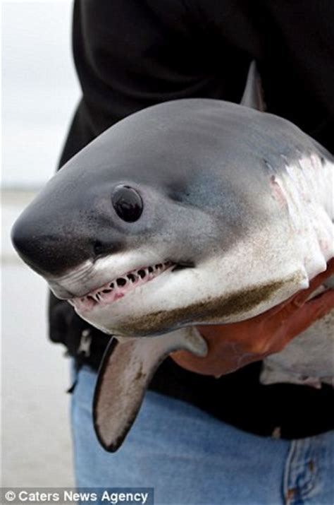 baby shark osu man finds baby shark on oregon coast releases it back