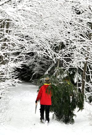 cut your own christmas tree in a national forest and