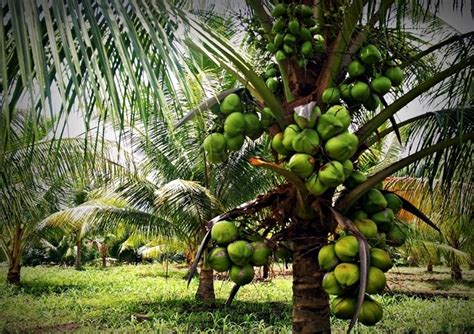 budidaya kelapa hibrida