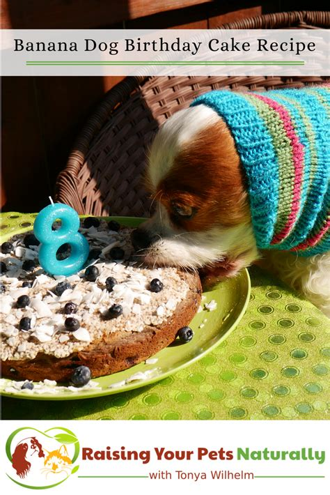 dog birthday cake recipes dog friendly banana puppy cake recipe raising  pets naturally
