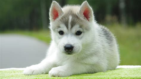 baby puppies for sale baby husky puppies for sale puppy 1080 jpg litle pups
