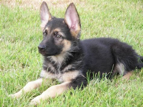 german shepherd breeders near me pictures images wallpapers a gallery of pictures