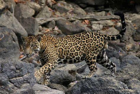 what does a jaguar eat does jaguars eat anacondas image search results