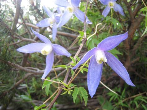 fiori particolari da giardino clematidi particolari ricanti variet 224 particolari