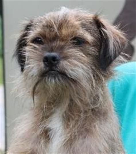 pug wire hair terrier pug and wire hair terrier pug mixed breeds draad haar en terriers