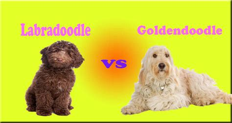 goldendoodle puppy hip dysplasia labradoodle characteristics appearance and pictures