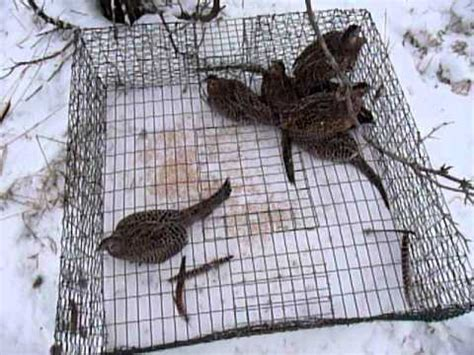 survival trapping pheasant and ground bird traps books pheasant trapping big catch birds