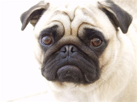 facts about pug dogs pug breed infobarrel images