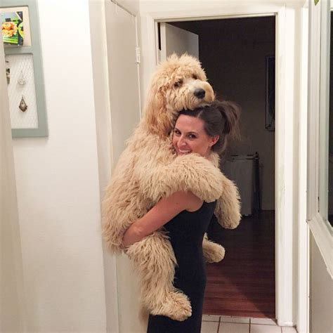 mini goldendoodle how big do they get 25 best ideas about doodle on doodle