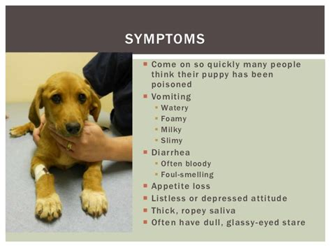 what are the symptoms of parvo in puppies my puppy has parvo now what