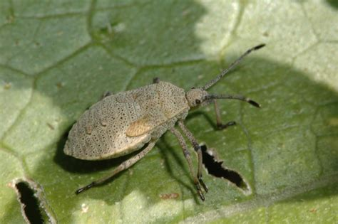 image gallery squash bugs