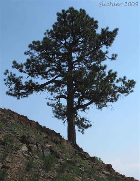 Wedges Pinus ponderosa pine western yellow pine blackjack pine bull