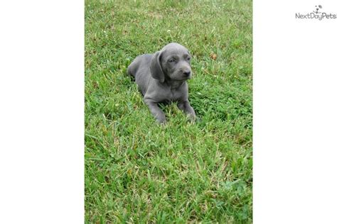 weimaraner puppies near me weimaraner puppy for sale near bowling green kentucky 817a601d 6e41