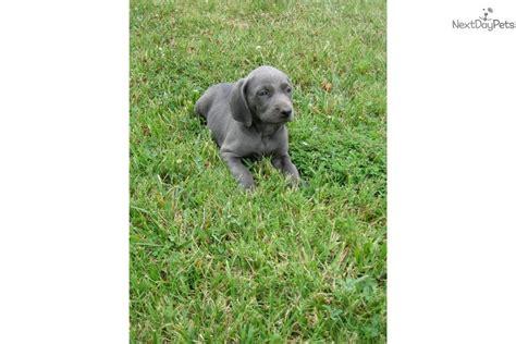 weimaraner puppies for sale in ky weimaraner puppy for sale near bowling green kentucky 817a601d 6e41