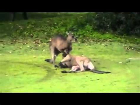 Sleeper Hold Knockout by Kangaroo Does A Sleeper Hold On Another Kangaroo