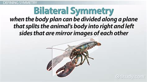 definition of animal biology bilateral symmetry definition exles advantages