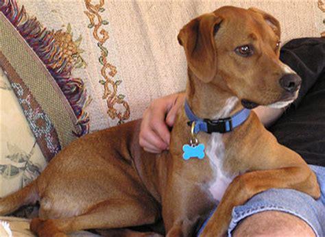 vizsla and hound mixed breed dog online dog encyclopedia