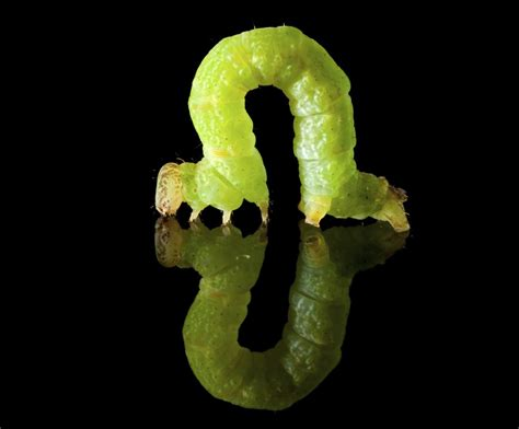 inch worm intriguing facts about inchworms you probably didn t know