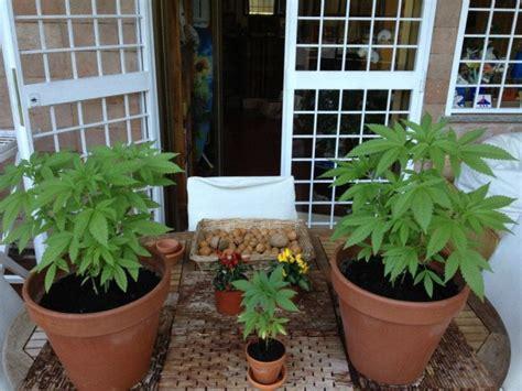 coltivare marijuana in vaso foto le piante di marijuana della radicale bernardini