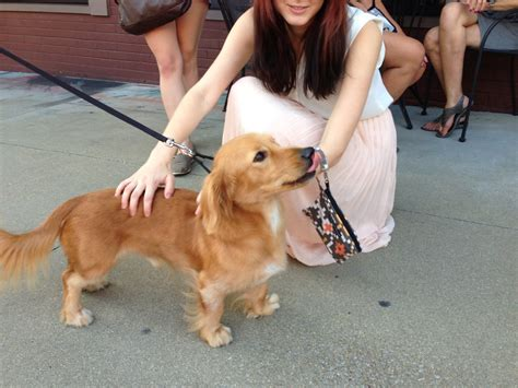 dachshund mixed with golden retriever for sale what you get when you cross a dachshund and a golden retriever aww