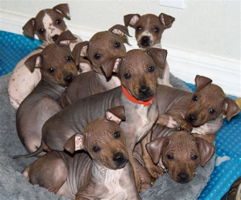 american hairless terrier puppies pin by hartell on american hairless terrier