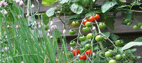 Garten Pflanzen Gute Nachbarn by Gem 252 Se Kr 228 Uter Standort Lichtkeimer Dunkelkeimer Gute