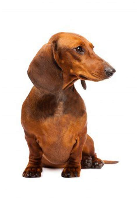 Haired Dachshund Shedding by Smooth Mini Dachshund Puppies Breeds Picture