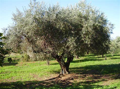 piante di ulivo da giardino albero olivo europea vaso 7cm mondo piante vendita