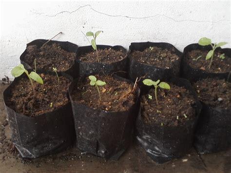 Cara Menanam Terong Lalap bibit tanaman terong ungu update daftar harga terbaru