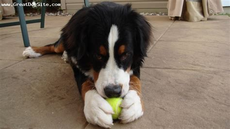 tri color dogs breed bernese mountain age 8 weeks color tri color 700x492