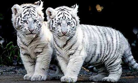 cubs newborn fan club baby animals images white tiger cubs wallpaper and